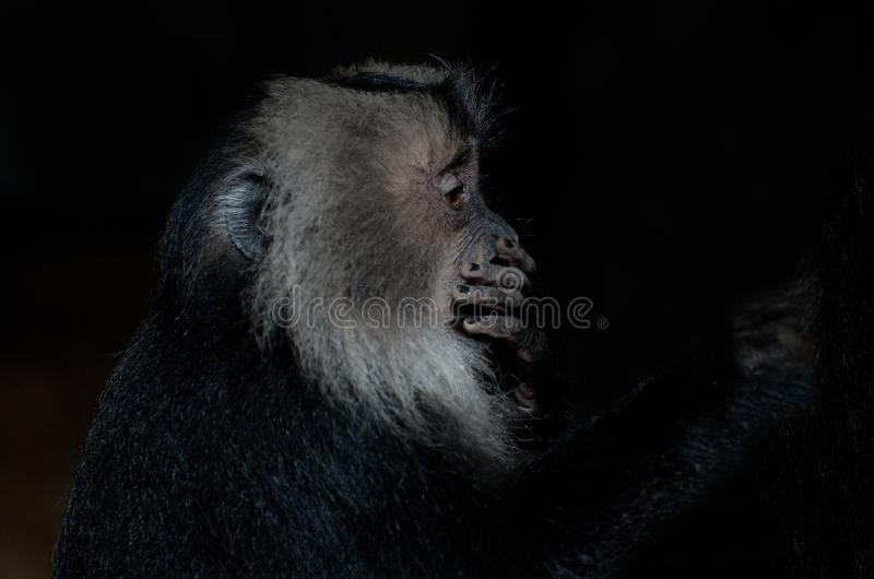Macaque atado leão imagens de stock royalty free