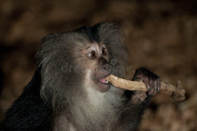 Macaque atado leão imagem de stock