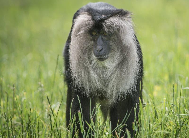 Macaque atado leão fotografia de stock