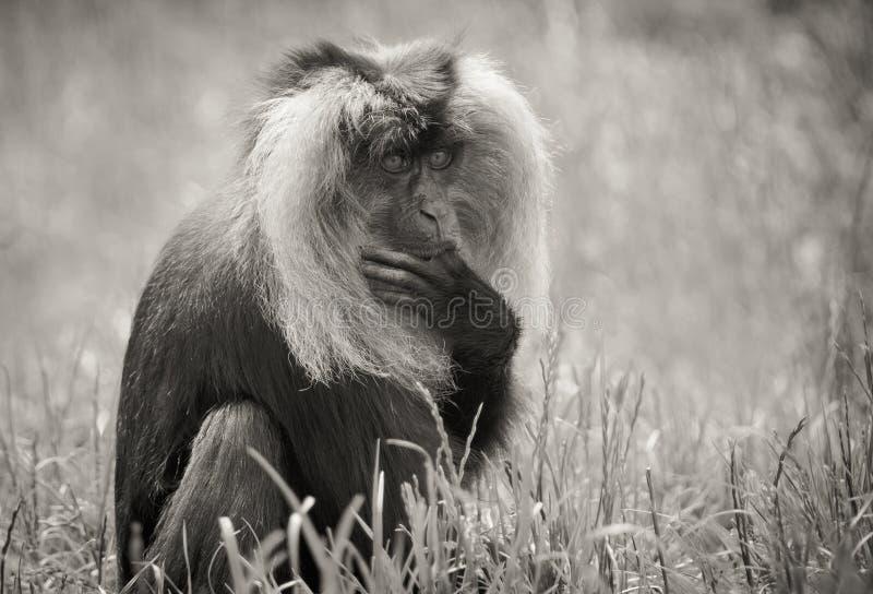 Macaque atado leão fotos de stock
