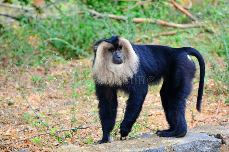 Macaque atado leão fotos de stock royalty free
