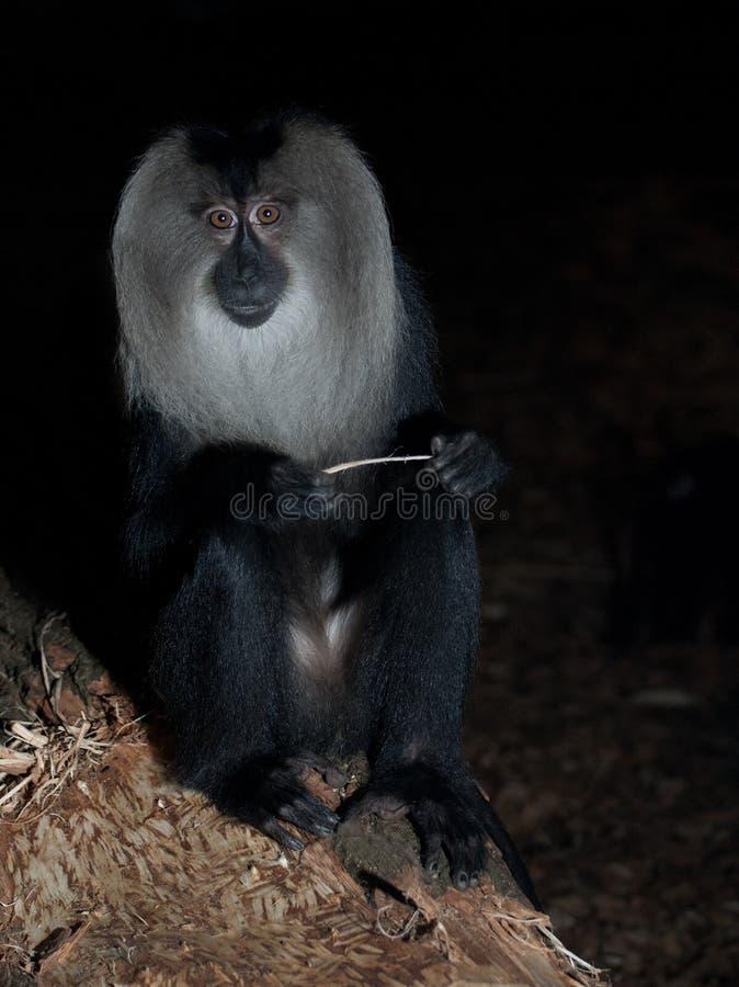 Macaque atado león imagenes de archivo