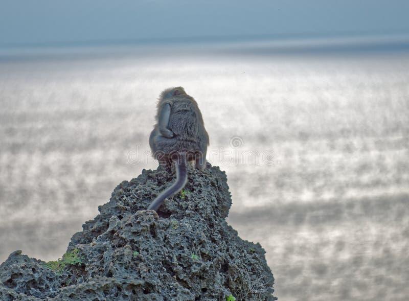 Macaque atado longo fotos de stock