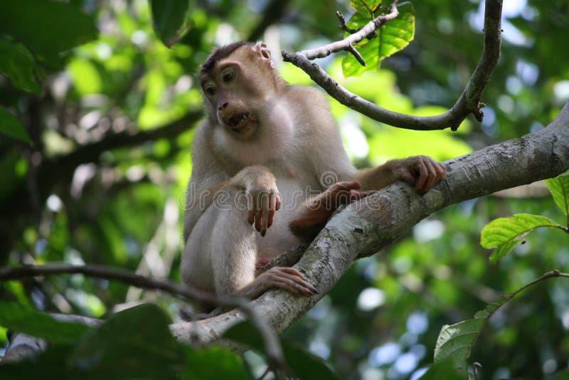 Macaque atado longo Bornéu fotografia de stock