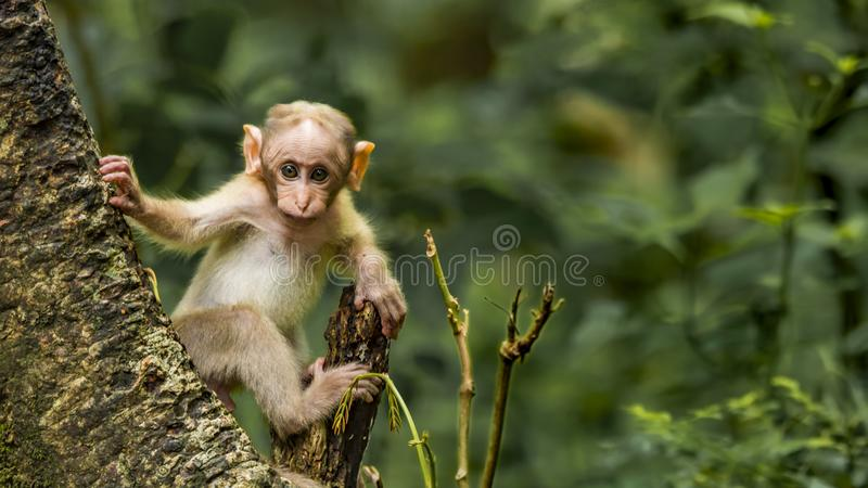 A macaque baby getting curious on seeing the camera royalty free stock photography