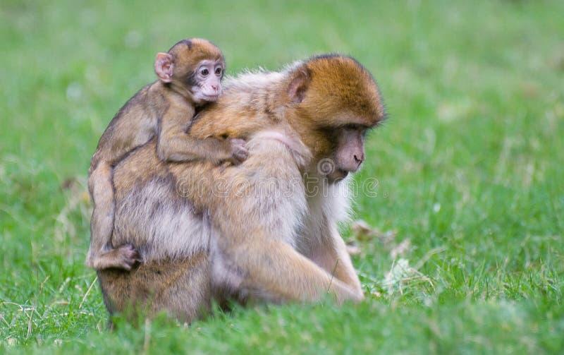 macaque barbary стоковая фотография