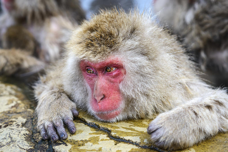 Macaque. Baths in hot springs in Nagano, Japan stock images