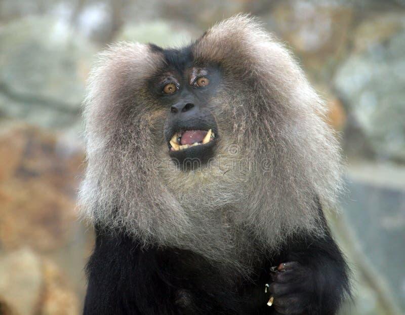 Macaque bij de dierentuin royalty-vrije stock foto's