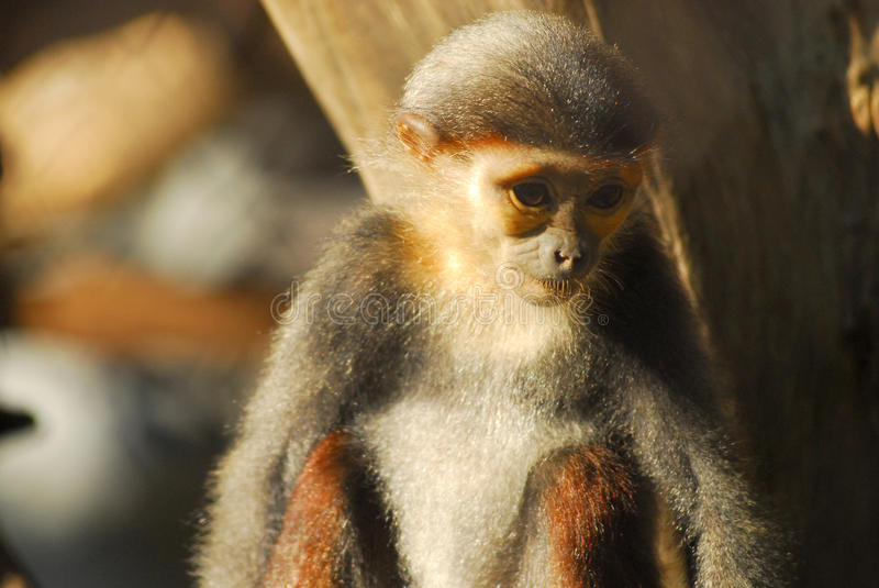 Download Macaque In A Cage At The Zoo, Thailand Stock Image - Image: 38815877