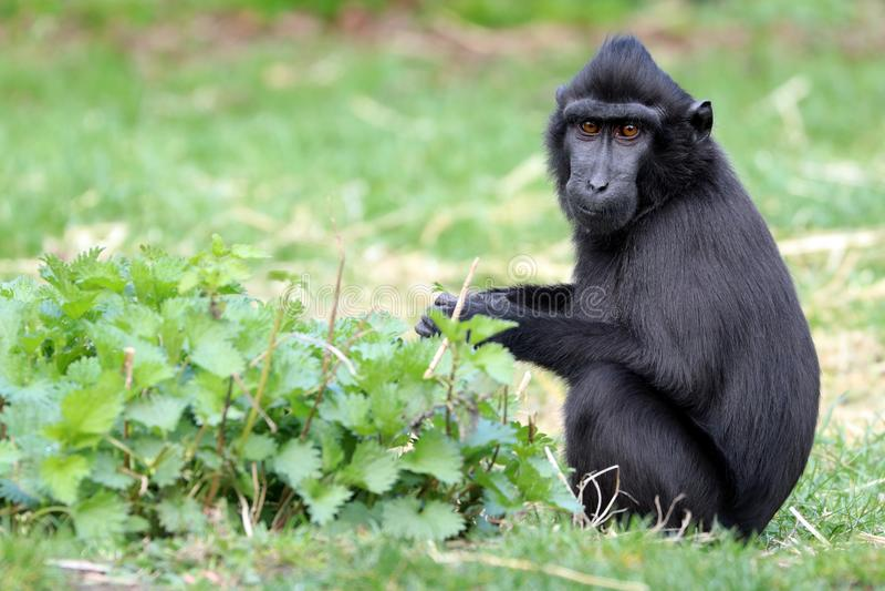 Macaque com crista fotografia de stock