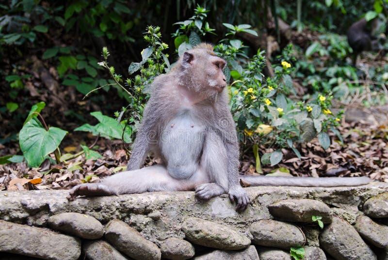Macaque com uma cauda longa na floresta imagens de stock royalty free