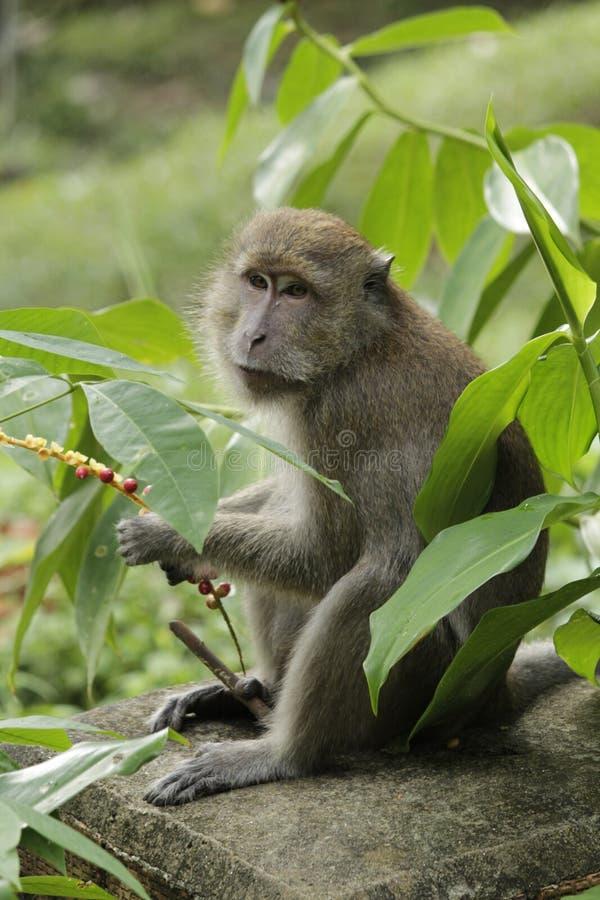 Macaque con las bayas, fauna imágenes de archivo libres de regalías