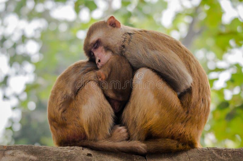 Macaque da matriz e do bebê fotografia de stock