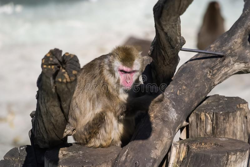 Macaque dans le zoo, animal de primat de singe image stock