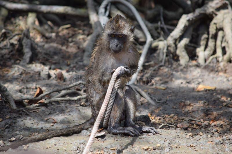 Macaque dans les accrocs, jouant avec une corde photos stock
