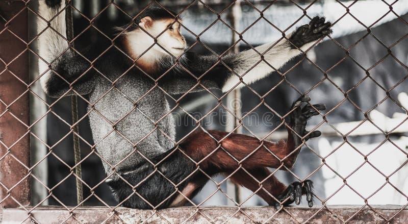 Macaque dans une cage de zoo photos stock