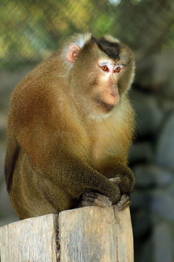 Macaque de Assam foto de stock