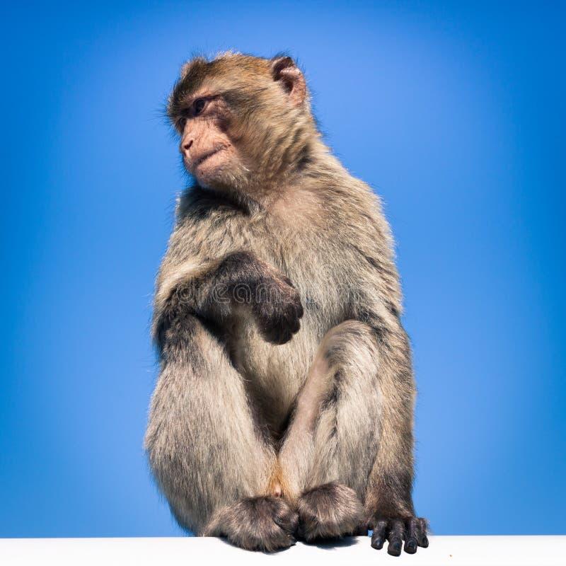 Macaque de Barbary fotos de archivo