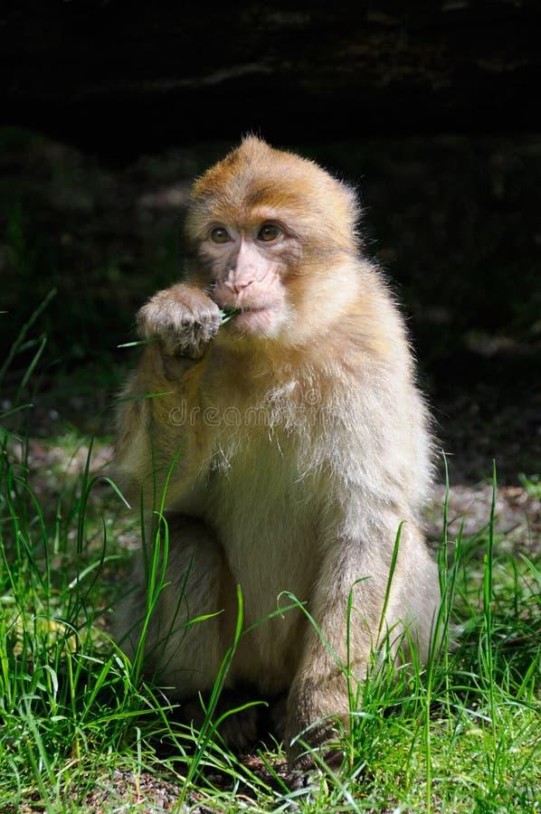 Macaque de Barbary imagens de stock
