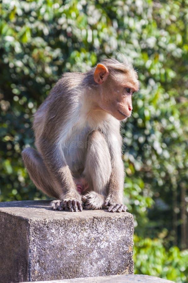 Macaque de capo que se sienta en el cubo concreto imagen de archivo