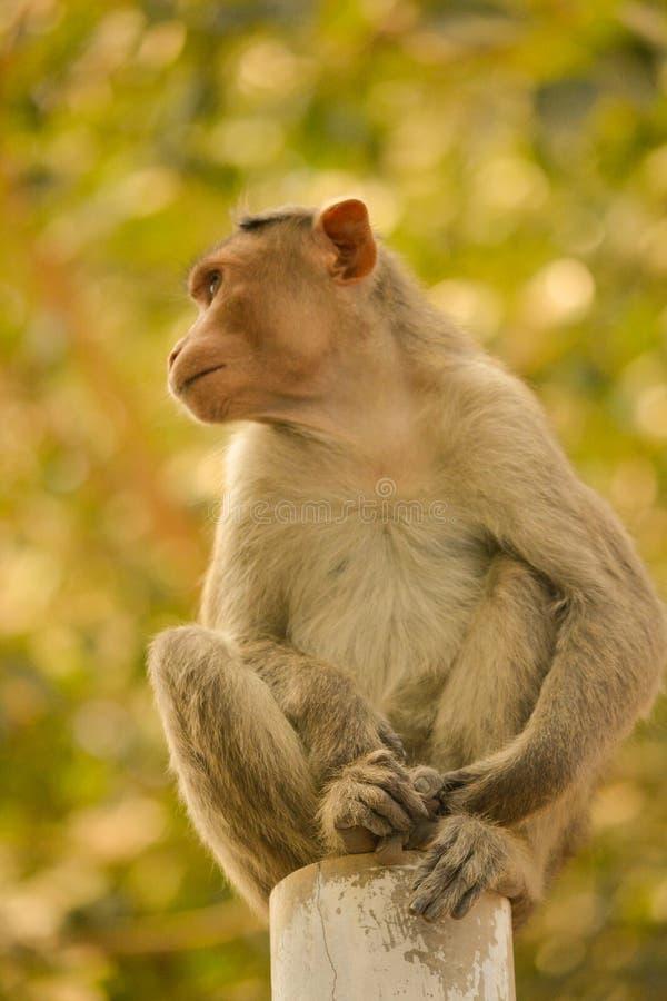 Macaque de capo que se sienta en polo imagenes de archivo