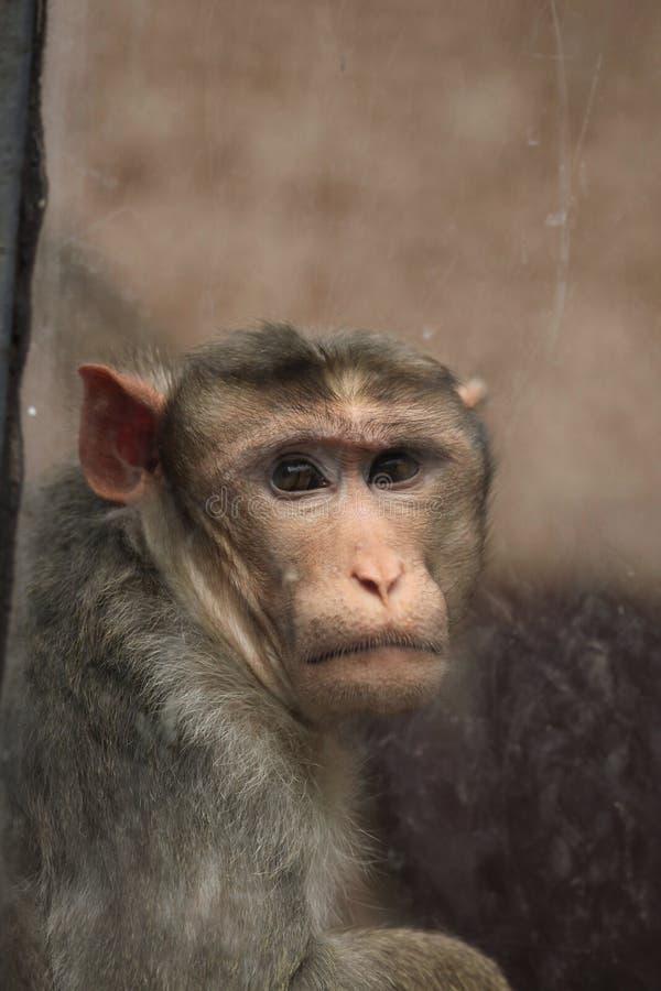 Macaque de capo (radiata del Macaca) imágenes de archivo libres de regalías