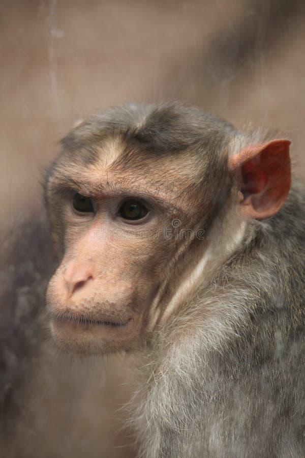 Macaque de capo (radiata del Macaca) imagen de archivo