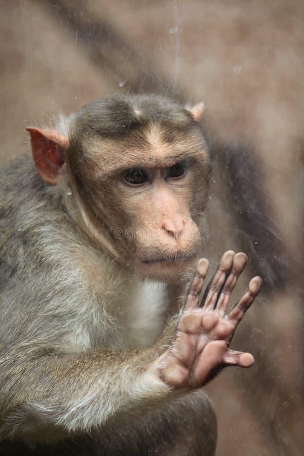 Macaque de capo (radiata del Macaca) foto de archivo