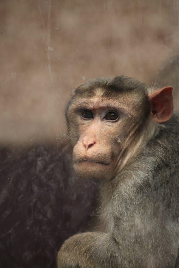 Macaque de capo (radiata del Macaca) imagen de archivo libre de regalías