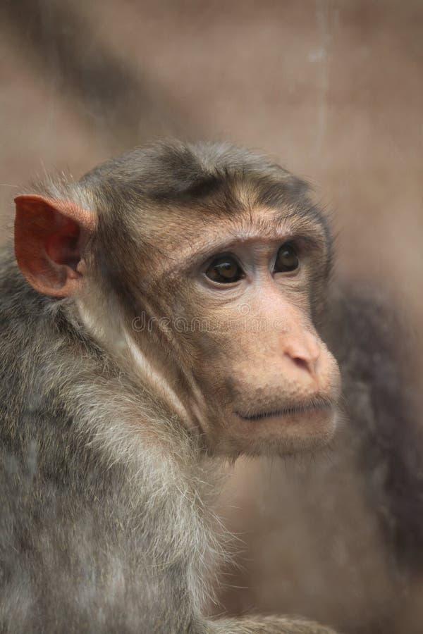 Macaque de capo (radiata del Macaca) fotos de archivo