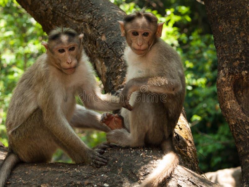 macaque de capot photo stock