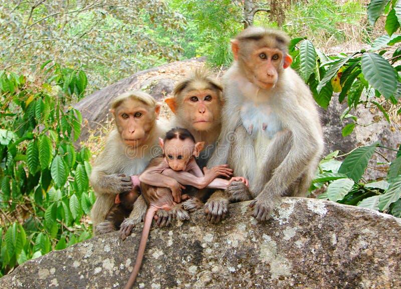Macaque de capot - singes indiens - famille avec un jeune garçon posant sur une roche photo libre de droits