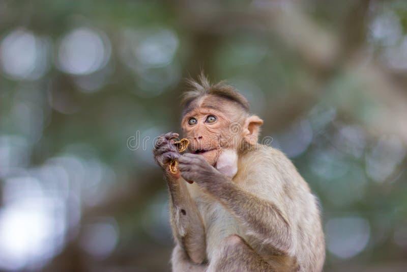 Macaque de capota fotografia de stock