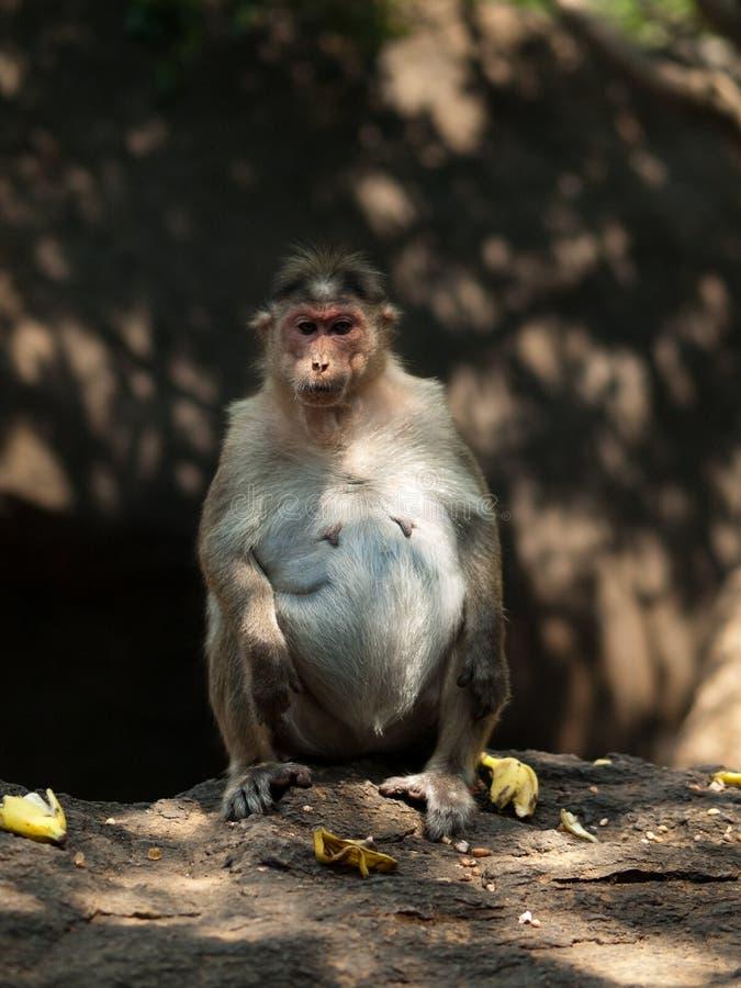 Macaque de capota imagem de stock