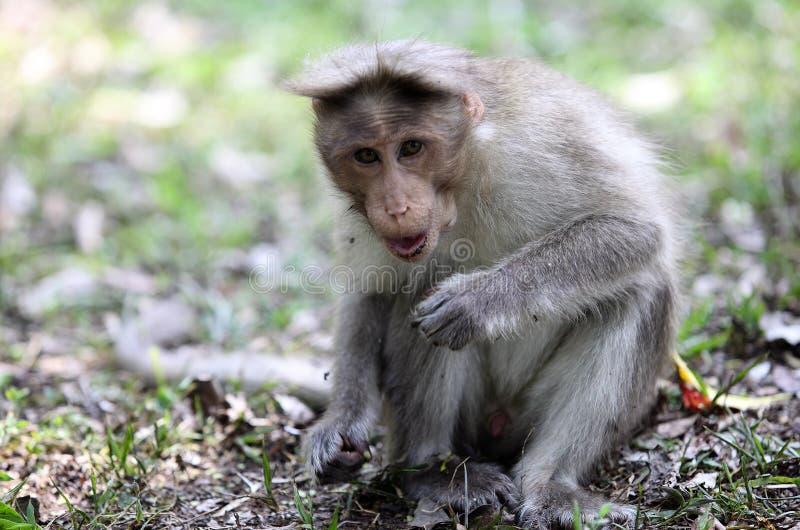 Macaque de capota em Kerala imagem de stock