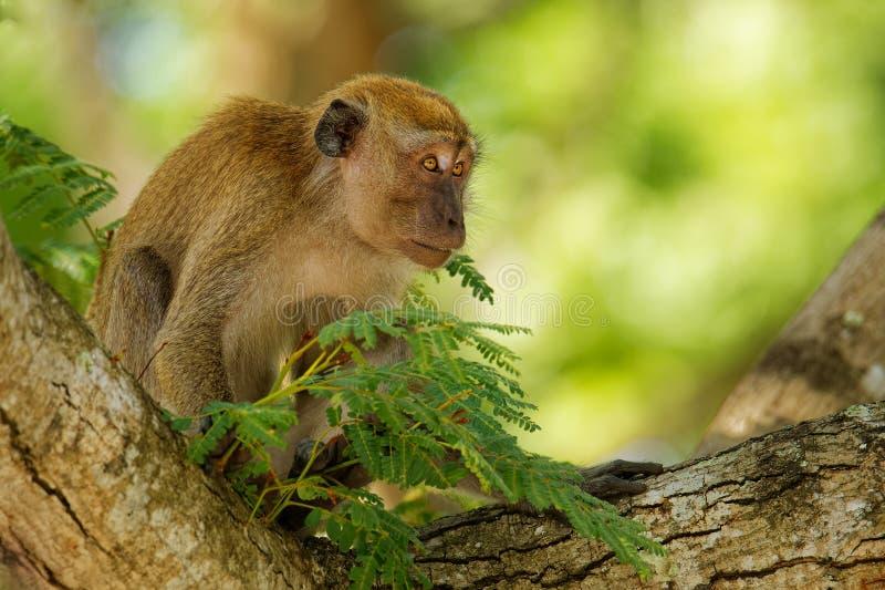 Macaque de cauda longa - os fascicularis do Macaca igualmente conhecidos como o macaque caranguejo-comer, um nativo do primata do foto de stock royalty free