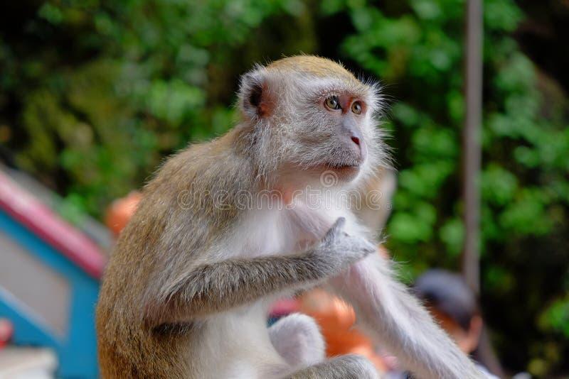 Macaque de cola larga de Malasia fotografía de archivo libre de regalías