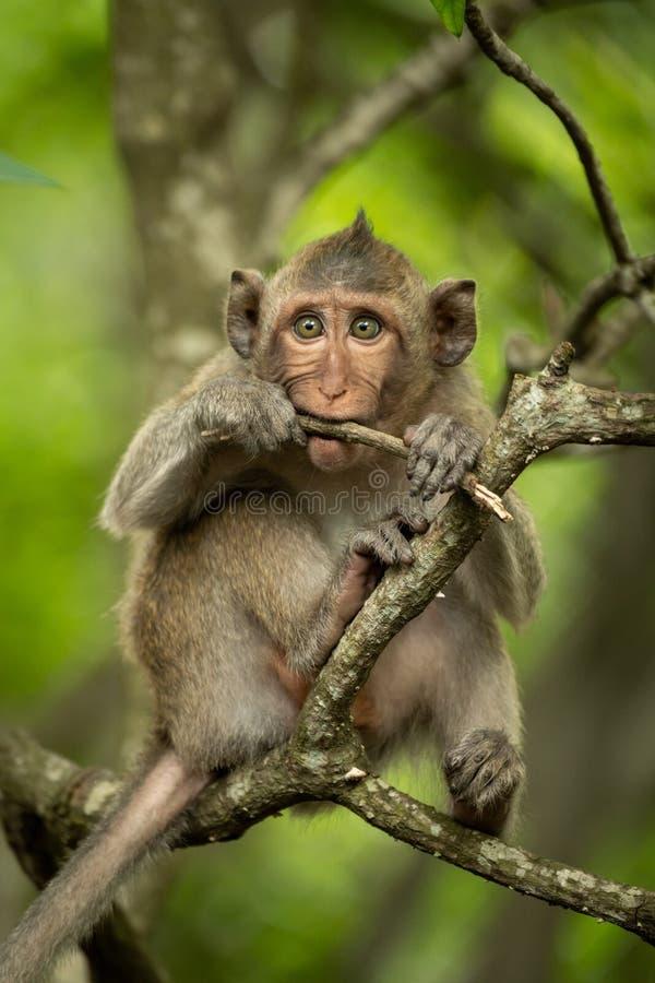 Macaque de cola larga del bebé en la ramita que muerde de la rama foto de archivo