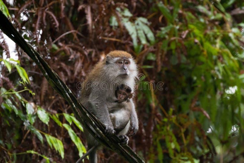 Macaque de cola larga de la Cangrejo-consumición del Macaque que amamanta a un bebé s fotografía de archivo libre de regalías