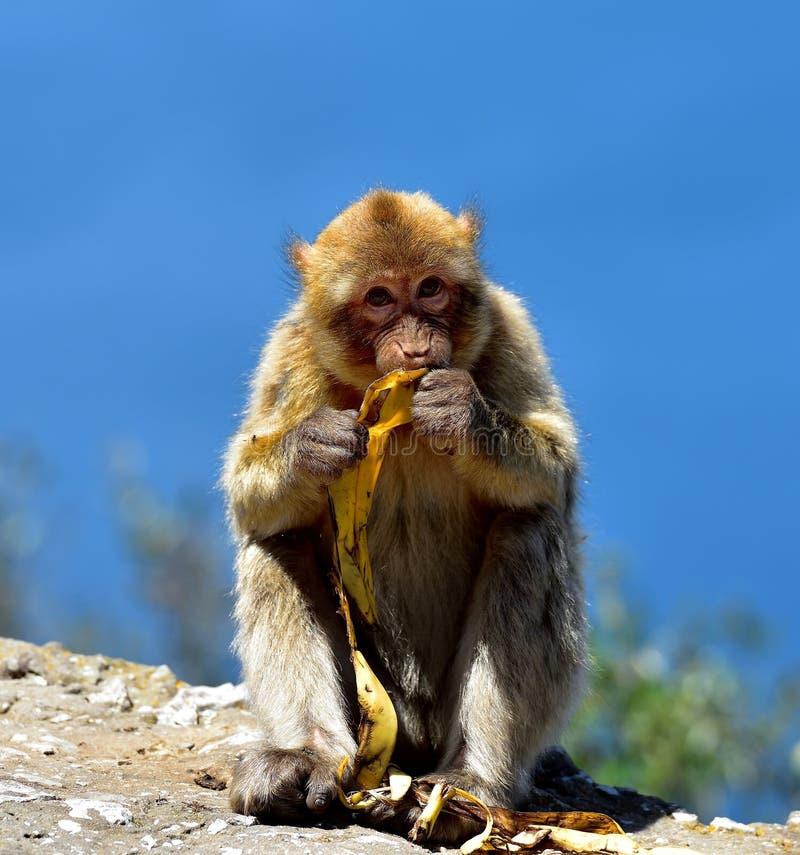 Macaque de Gibraltar Barbary imagenes de archivo