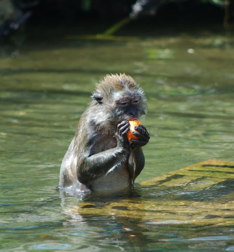 Macaque de Java images libres de droits