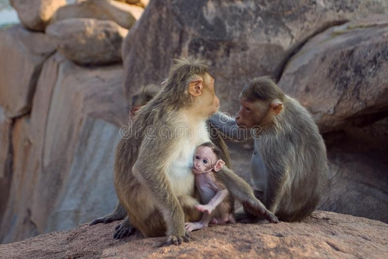 Macaque del macaco de la India