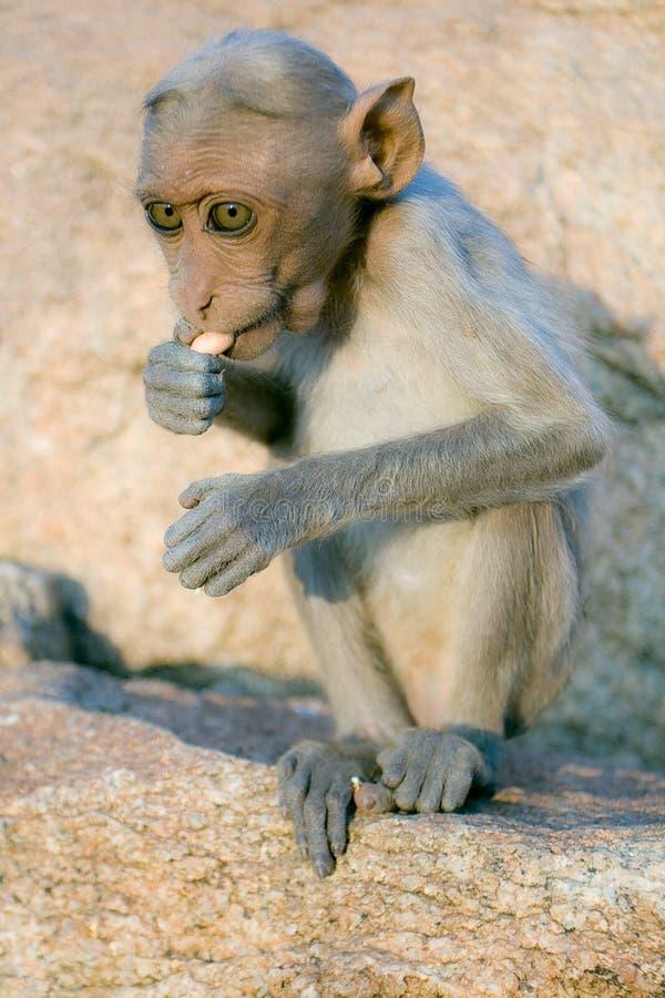 Macaque del macaco de la India fotografía de archivo