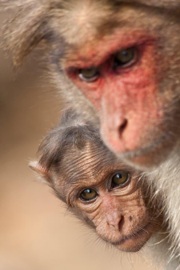 Macaque di cofano del bambino che si nasconde dietro la sua madre immagini stock libere da diritti