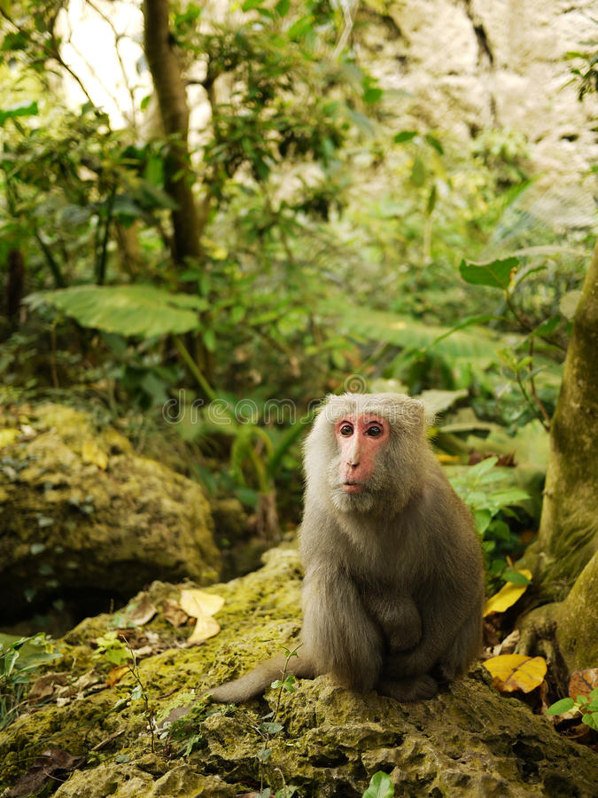 Macaque di Formosa che si siede sul calcare di corallo fotografie stock libere da diritti