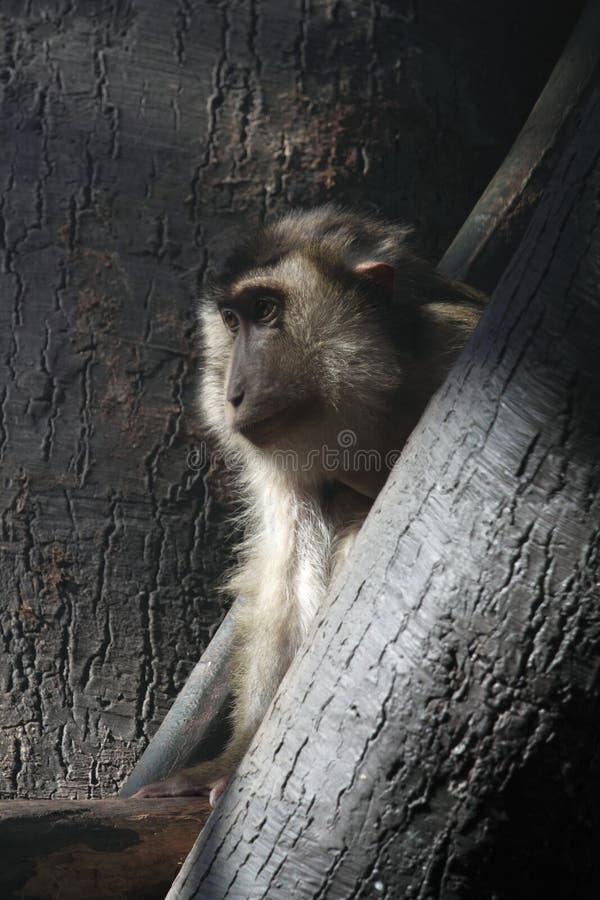 Macaque do Pigtail imagens de stock