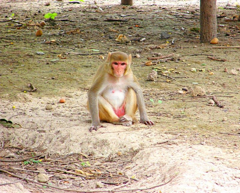 Macaque do Rhesus - mulatta do Macaca fotografia de stock