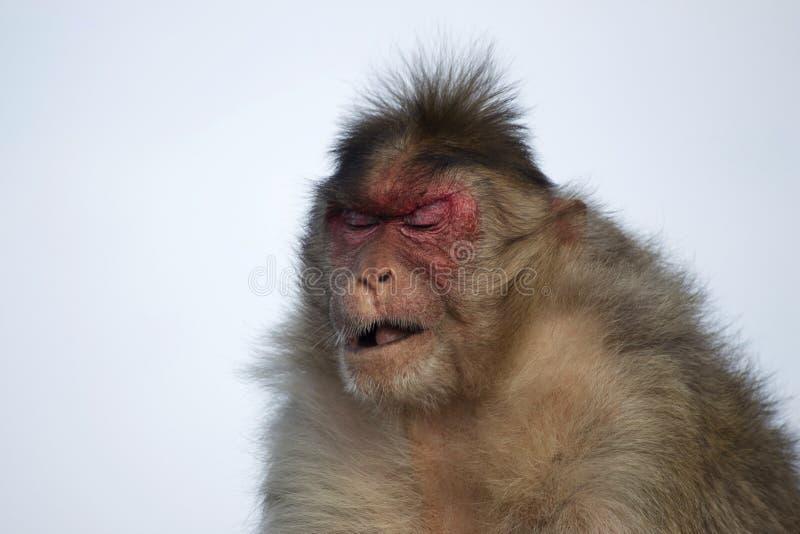 Macaque do Rhesus ou macaco com expressão triste, Maharashtra, Índia foto de stock