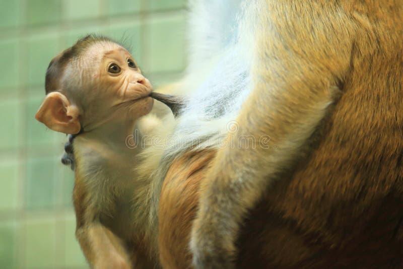 Macaque do Toque foto de stock