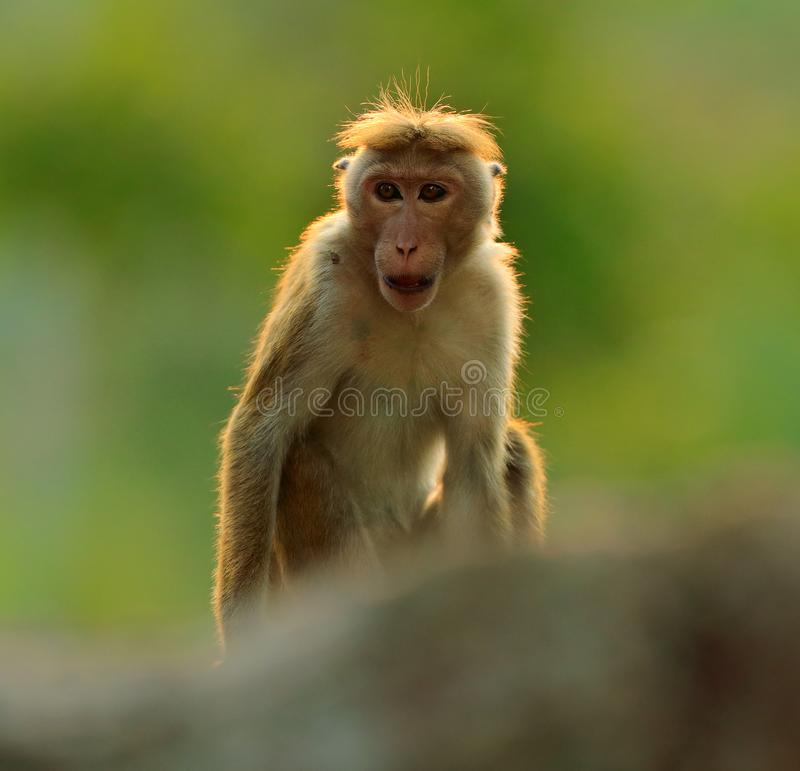Macaque do Toque, sinica do Macaca, macaco com sol da noite Macaque no habitat da natureza, Sri Lanka Detalhe de macaco, cena de  imagem de stock royalty free